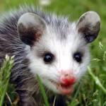 Possum Profile Picture